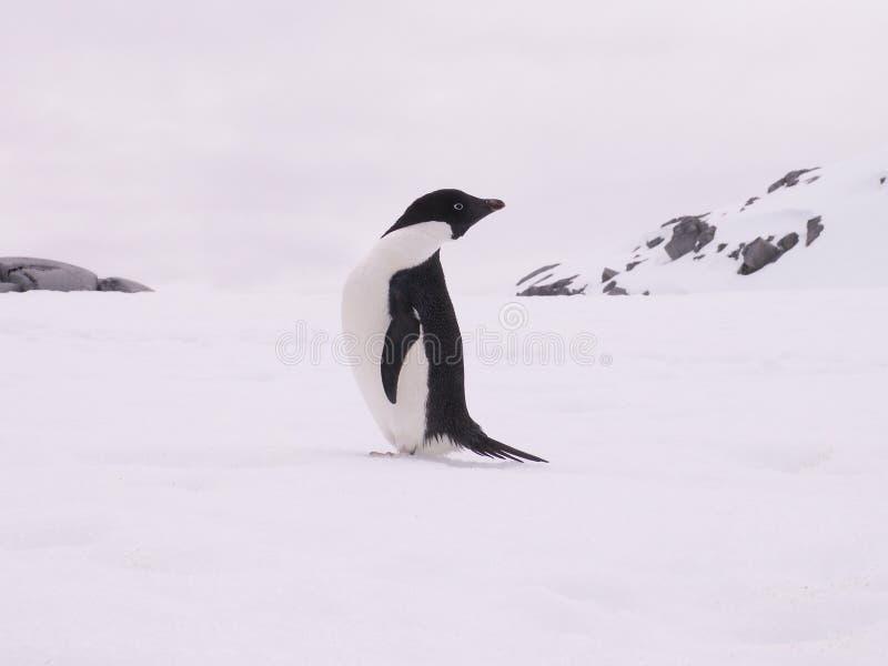 снежок пингвина adelie стоковое фото