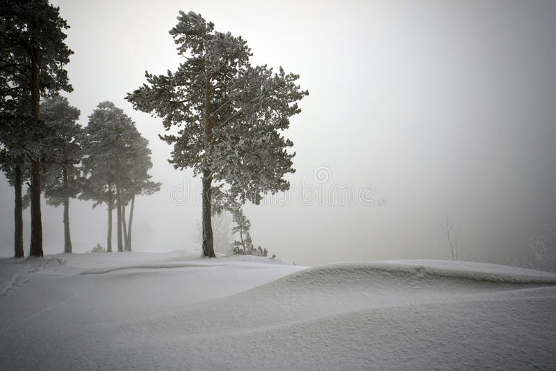 Снежок покрыл деревья сосенки в тумане стоковое фото rf