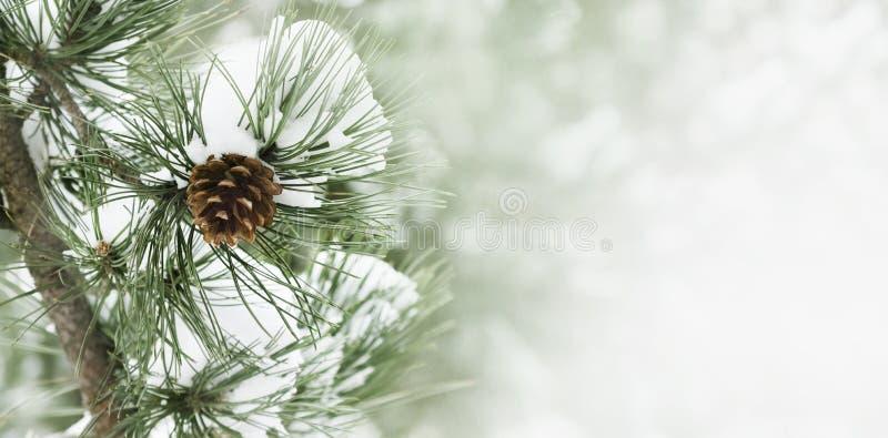 снежок сосенки ветви вниз стоковые изображения