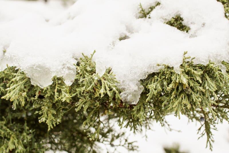 снежок сосенки стоковые изображения