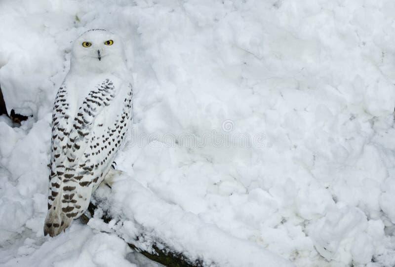снежок сыча снежный стоковое фото rf