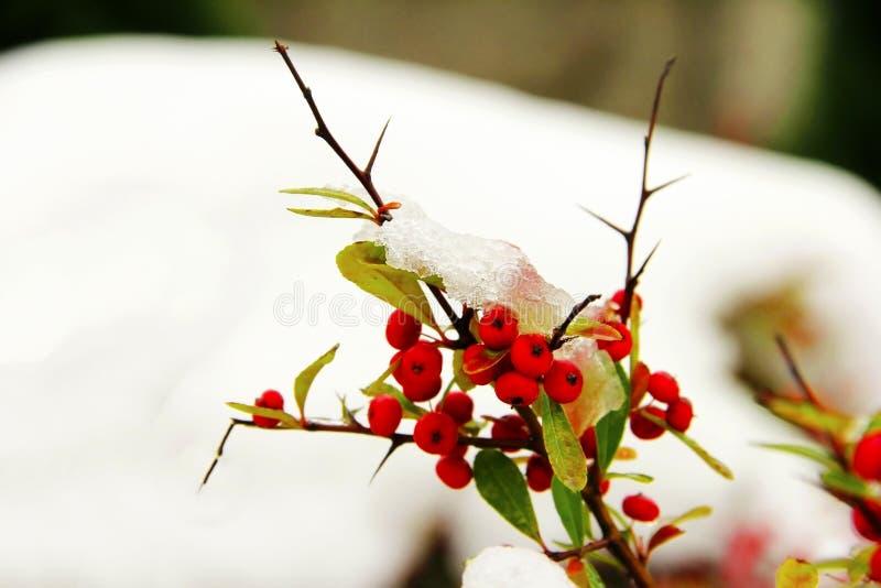 снежок ягод красный вниз стоковые изображения rf