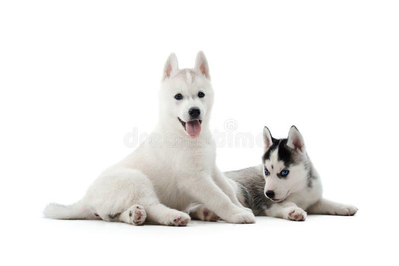 2 снесли щенят собаки сибирской лайки представляя на студии стоковое фото rf