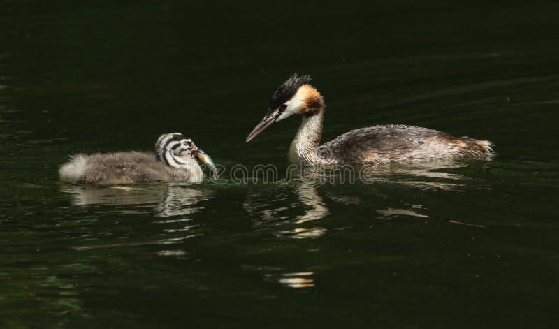 Сногсшибательное большое Crested заплывание cristatus поганки поганковых 2 в реке Родительская птица как раз подавала младенец с  стоковые изображения