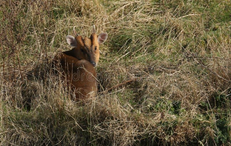 Сногсшибательное reevesi Muntiacus оленей Muntjac рогача завило вверх отдыхать в длинной траве наслаждаясь солнечностью зимы стоковое изображение