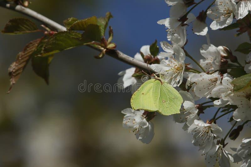 Сногсшибательное rhamni Gonepteryx бабочки серы nectaring на белом вишневом цвете  стоковые изображения