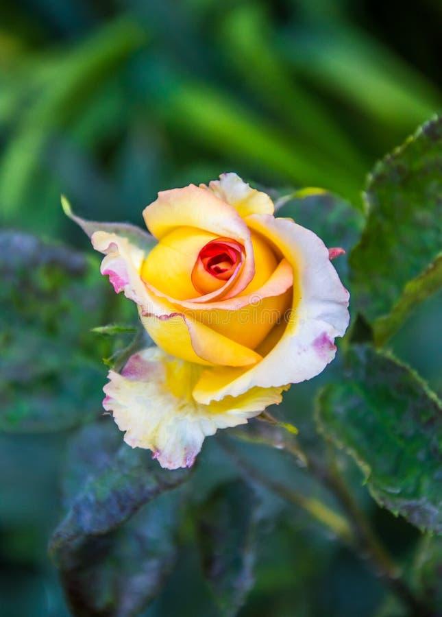 Сногсшибательно красивые розы стоковая фотография rf