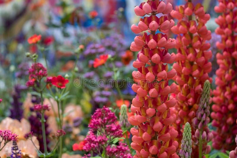 Сногсшибательные красные люпины в ремесленнике садовничают на выставке цветов Челси, который хозяйничает королевское садовническо стоковая фотография rf