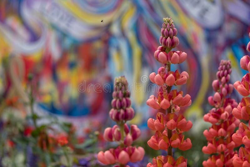 Сногсшибательные красные люпины в ремесленнике садовничают на выставке цветов Челси, который хозяйничает королевское садовническо стоковая фотография