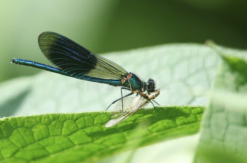 Сногсшибательный мужчина соединил dragonfly Demoiselle, splendens Calopteryx, садясь на насест на лист Comfrey есть подёнку стоковые изображения rf