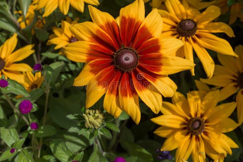 Сногсшибательный яркий желтый цветок солнца с живой красной расцветкой к лепесткам, против зеленой предпосылки листвы стоковое фото rf
