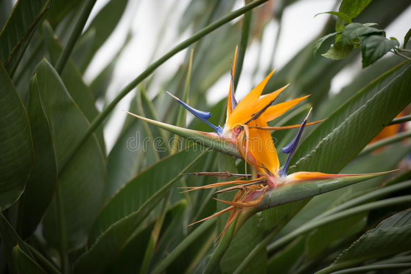 Сногсшибательный цветок райской птицы стоковое изображение rf