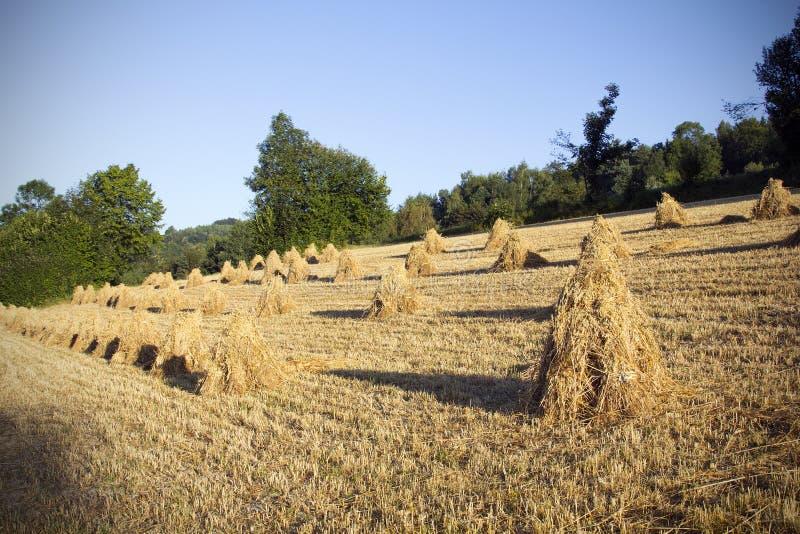 Снопы овсов на поле стоковая фотография rf