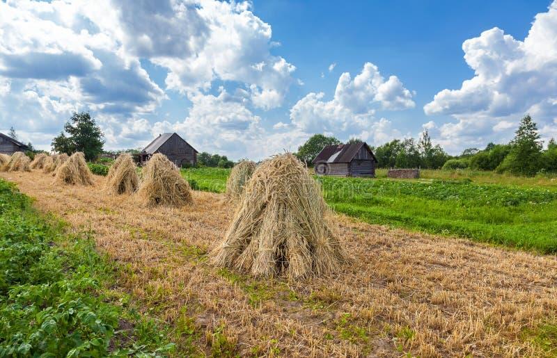 Снопы пшеницы сложенные в стогах на поле стоковое фото