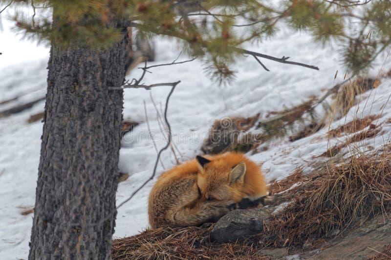 Сны красной лисы в древесинах стоковое фото rf