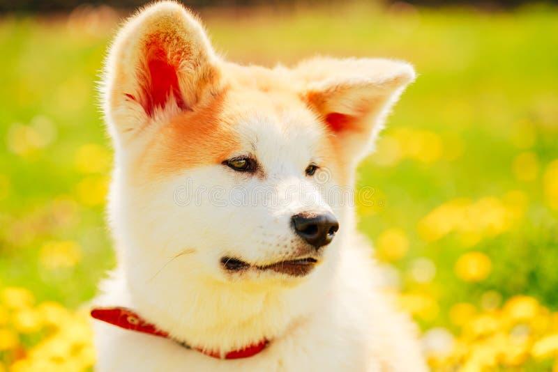 Download Собака Акиты (Акита Inu, японец Акита) Стоковое Изображение - изображение насчитывающей сливк, напольно: 40591343