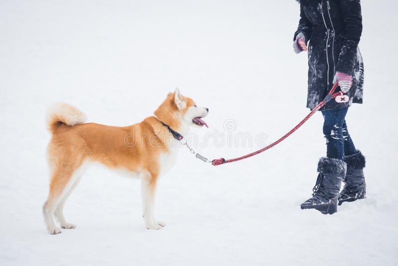 Собака Акиты со своим предпринимателем в снеге стоковое изображение