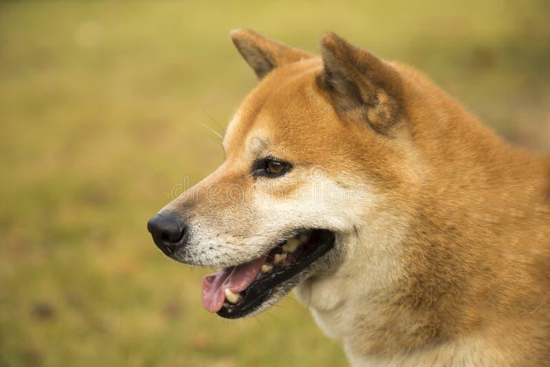 Собака Акиты стоковые изображения rf