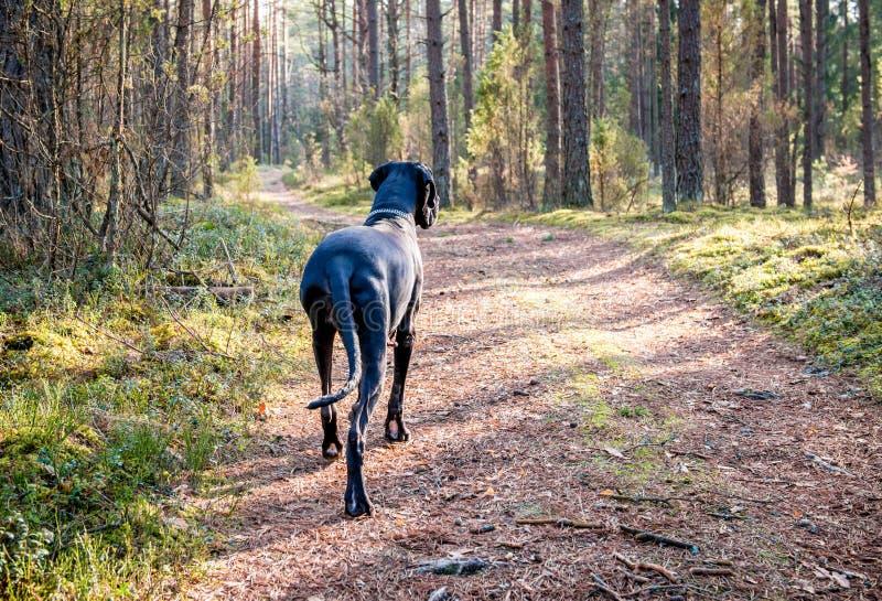 собака датчанина большая стоковое фото