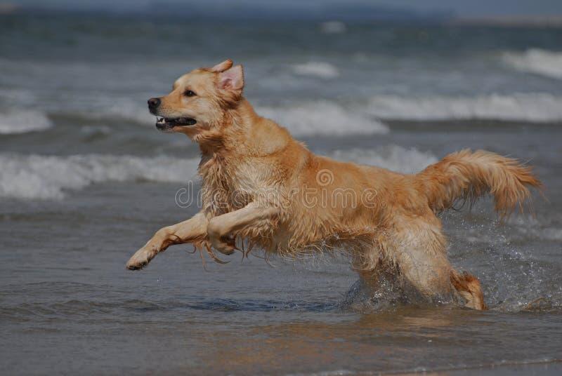 Собака бежать на пляже стоковая фотография rf