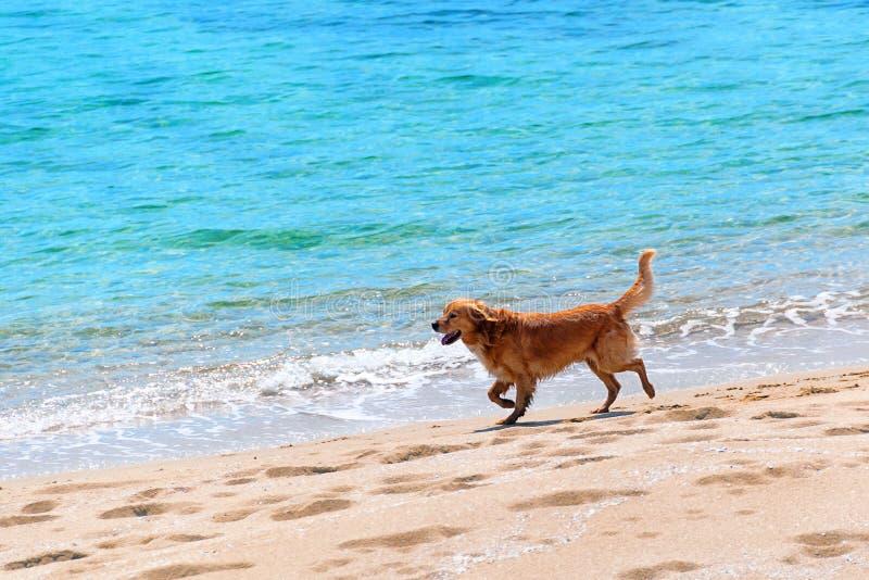 Собака бежать на пляже стоковая фотография