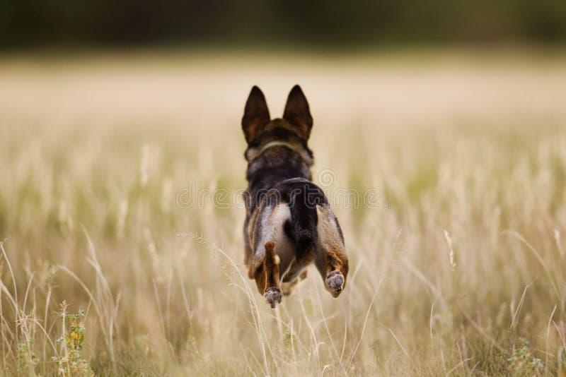 Собака бежать через поле стоковая фотография rf