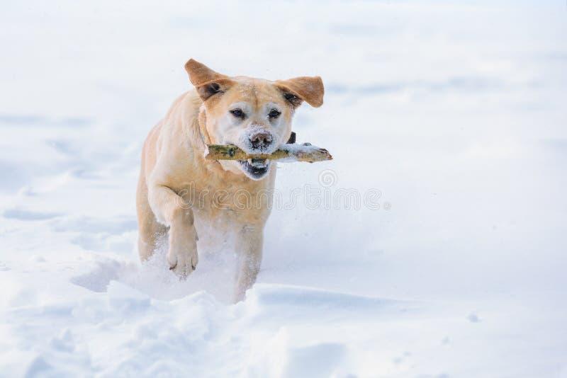 Собака бежать через снег в зиме стоковые фотографии rf