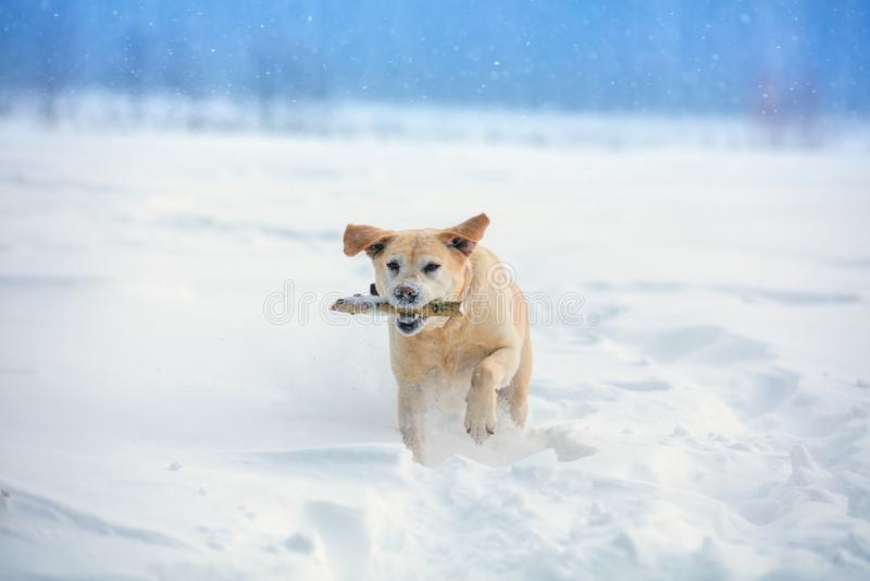Собака бежать через снег в зиме стоковая фотография rf