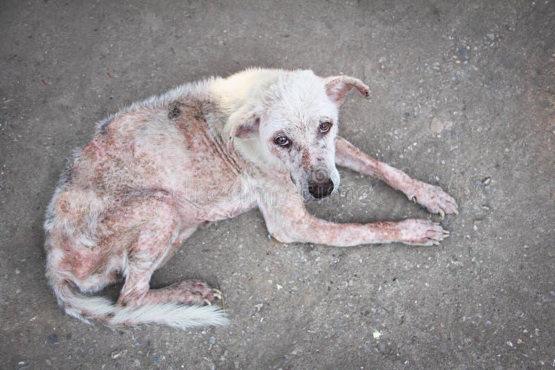 Собака белизны Scabies стоковые фото