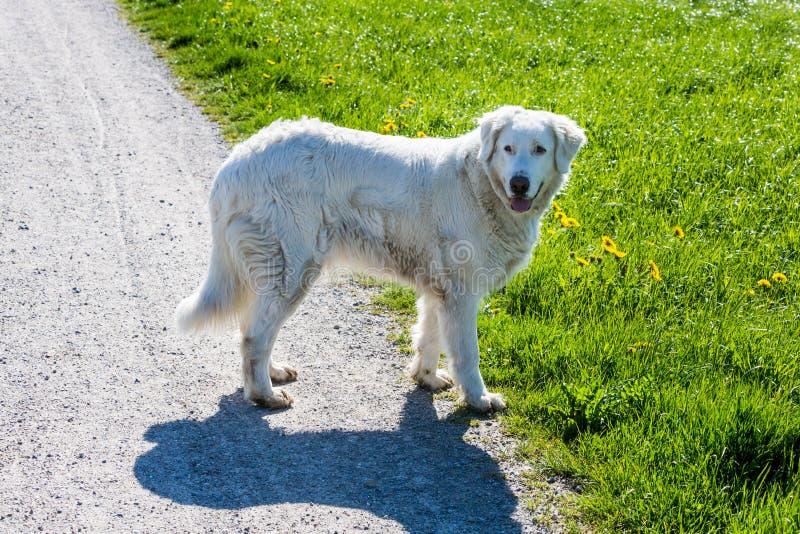 Собака белых овец стоковое изображение