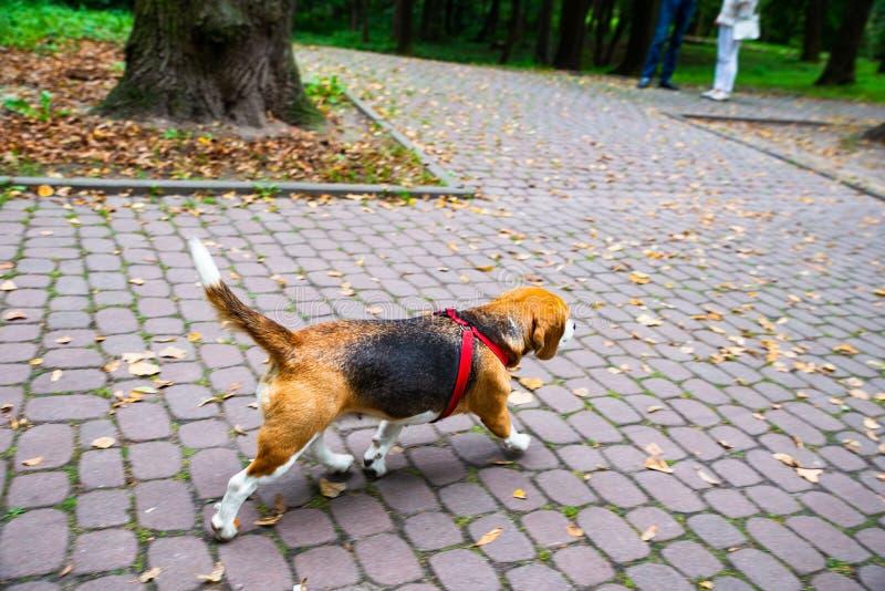 собака бигля идя в парк города стоковые изображения rf