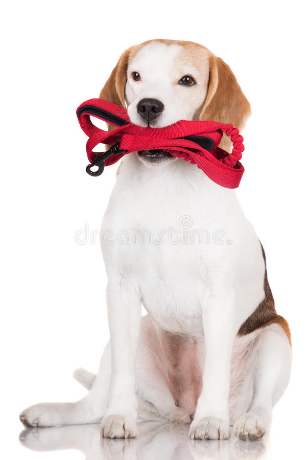 Собака бигля держа поводок стоковое фото rf