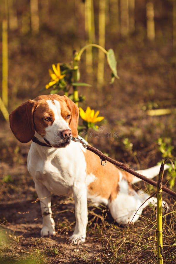 Собака бигля с поводком ждет снаружи стоковое изображение rf