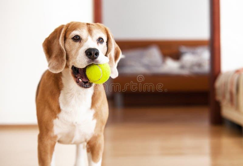 Собака бигля с теннисным мячом хочет сыграть стоковые фотографии rf