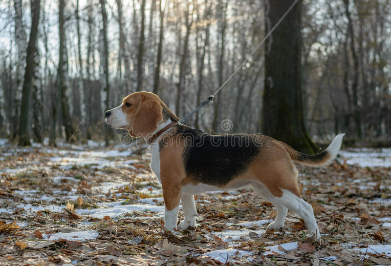 Собака бигля для прогулки в древесинах стоковое фото rf
