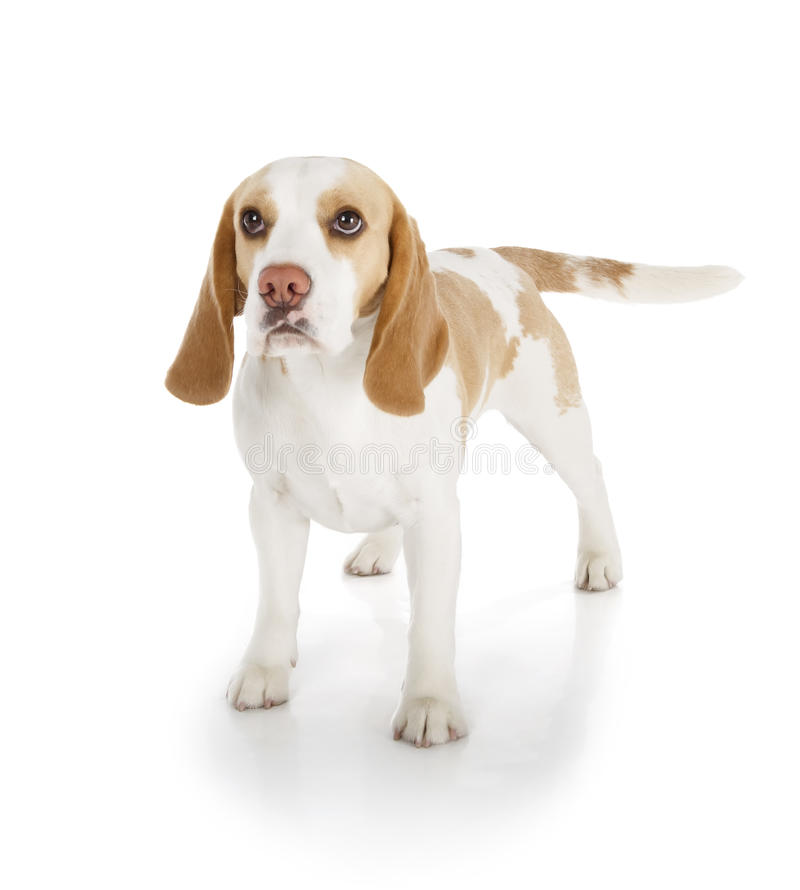 Собака бигля стоковая фотография rf