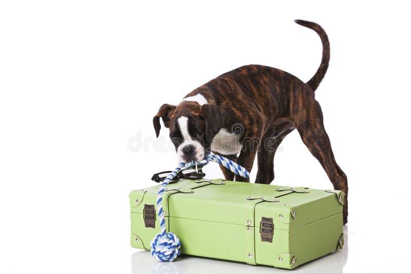 Собака боксера готовая для того чтобы путешествовать стоковое фото