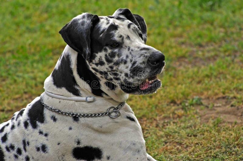 Собака большого датчанина стоковое фото
