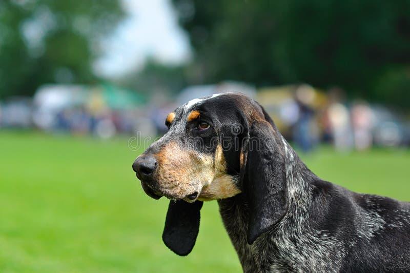 Собака. Большое голубое Gascon стоковое изображение rf