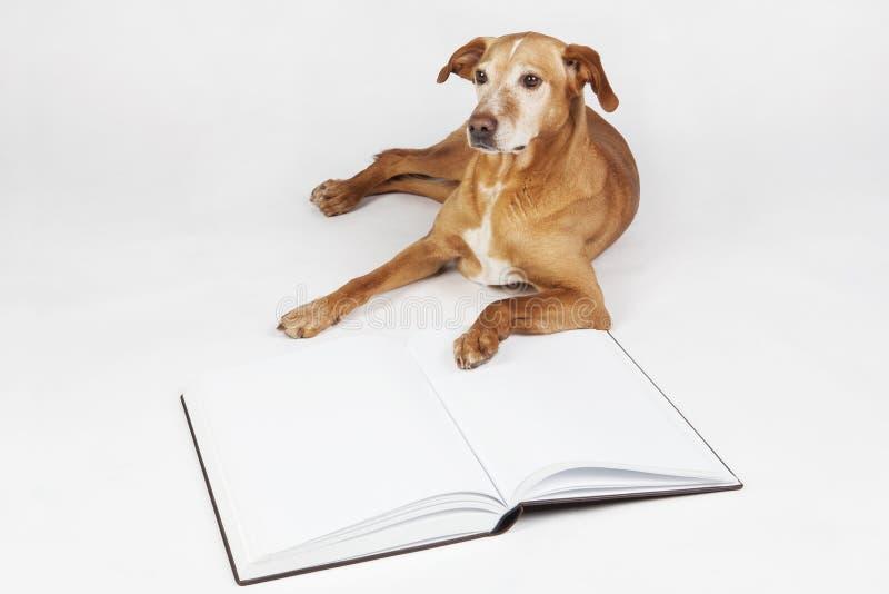 Собака Брайна лежа открытой книгой стоковое изображение