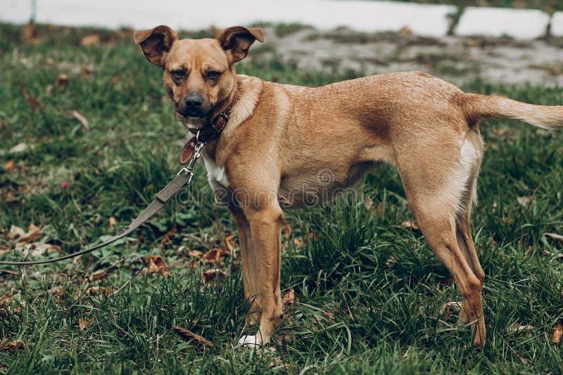 Собака Брайна играя на предпосылке парка осени Космос для текста стоковые фотографии rf