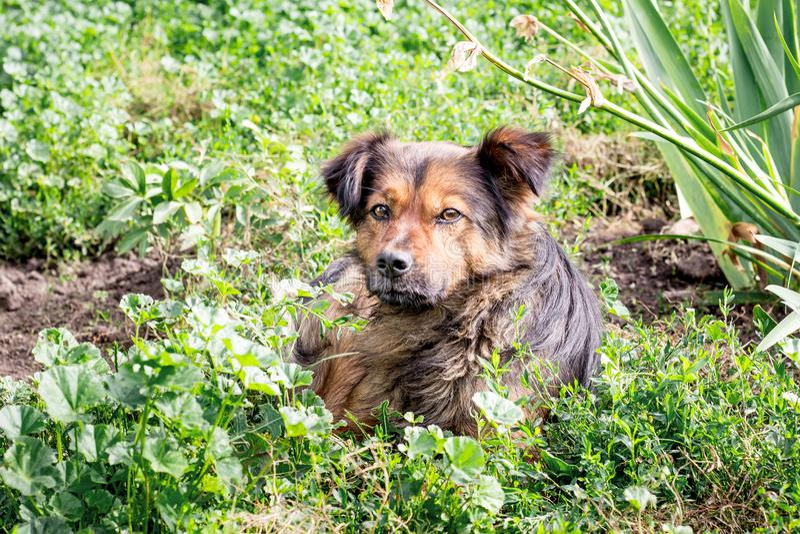 Собака Брайна лежа на траве в саде Собака защищает pro стоковые изображения rf