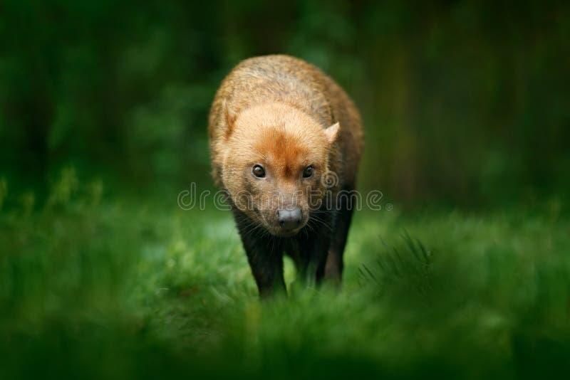 Собака Брайна одичалая Буша, venaticus Speothos, от сцены живой природы леса Перу тропической от природы Животное в среду обитани стоковое фото rf