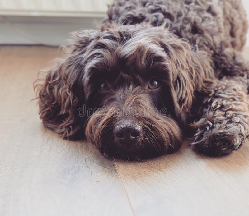 Собака Брайн Labradoodle стоковое изображение
