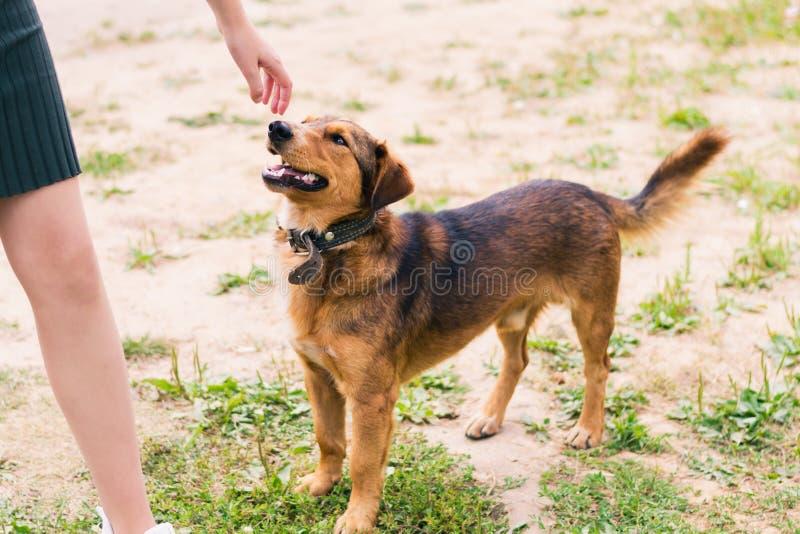 Собака Брауна ровн-с волосами с воротником обнюхивая пальцы девушки стоковое фото