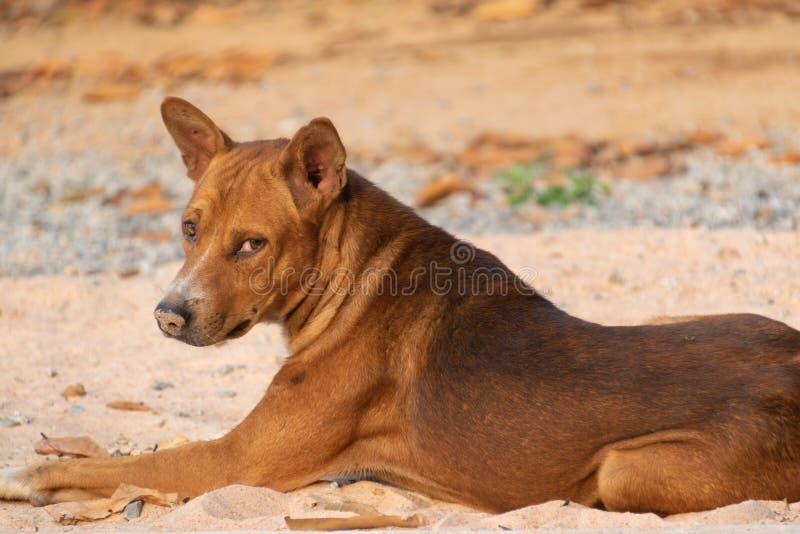 Собака Брауна с его грустными глазами ждать его владельца стоковое фото