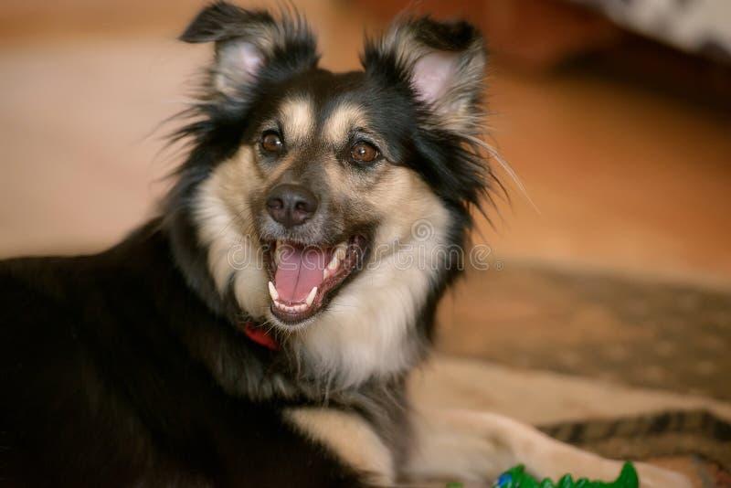 Собака взаимн породы Коллиы границы стоковое изображение rf