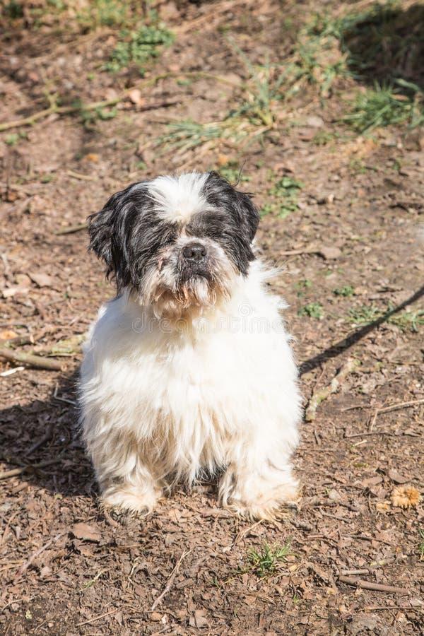 Собака взрослого apso Lapssa стоковое фото