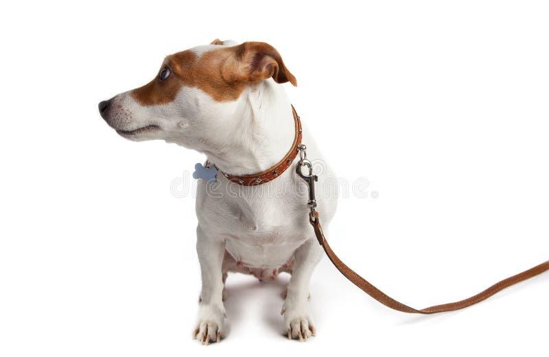 Собака включила поводок с воротником стоковое изображение rf