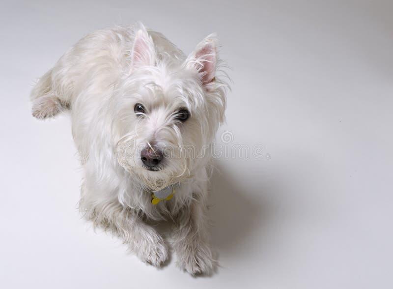собака вниз кладя малую белизну стоковая фотография rf